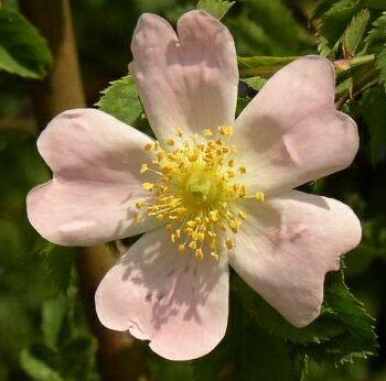 Fiori 5 Petali Rosa.Rosa Canina I Fiori