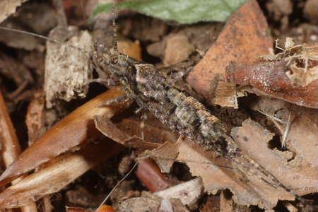 Microcoryphia - Machilidae