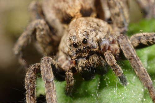 Disposizione degli occhi nei ragni